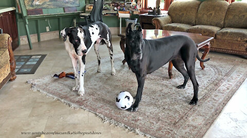 Sports-loving Great Danes love to play soccer