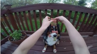 Australian Shepherd Has the Patience of a Saint - Video