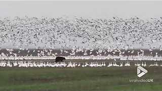 Black Bear Scares Snow Geese Into Flocking Away - Video
