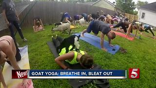 Fitness Craze, Goat Yoga, Comes To Nashville - Video