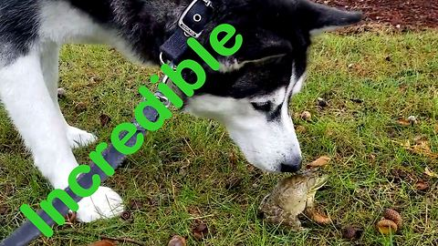"Husky meets frog, tries to kiss his ""Prince Charming"""