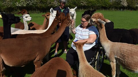 Al-paca My Doctor's Bag: Therapist Works Alongside Herd Of 40 Alpacas – Who Help De-stress Anxious Clients