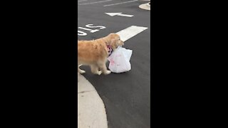 Golden Retriever delivers food for curbside pickup