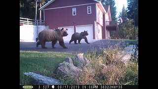 Three Grizzly Bears in the Backyard