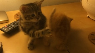 Kittens chase each other's tails in sync - Video