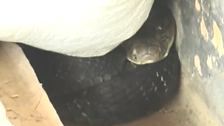 Snake under the wheat bags  - Video