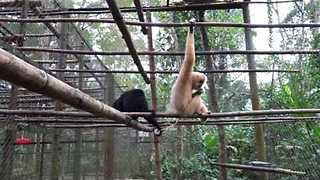 Cute Gibbons Quarrel Over Peanuts - Video