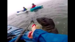 Kayaker Frees Seal Entangled in Fishing Line at Pelican Point