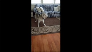 Husky has severe case of the zoomies - Video