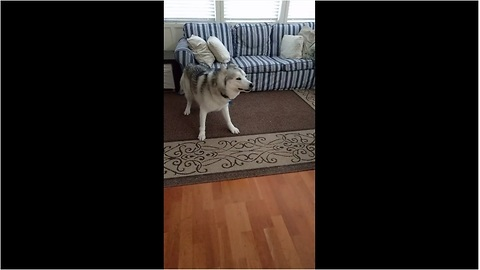 Husky has severe case of the zoomies