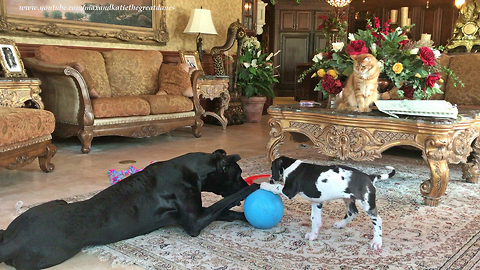 Funny Cat Watches Great Dane and Puppy Play with Toys