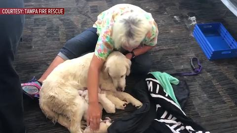 Service Dog Gives Birth To Litter Of Puppies At An Airport