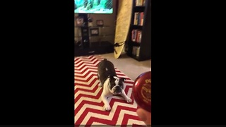 English Bulldog humorously unsure about yo-yo - Video