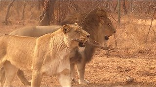 Silly Lion Plays Fetch Like A Dog - Video