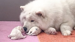 Newborn Samoyed Puppies  - Video