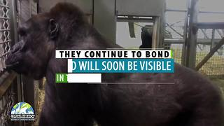 Two female gorillas arrive at the Cleveland Metroparks Zoo - Video