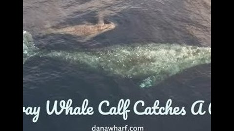 Baby Gray Whale Swims in Mom's Slipstream