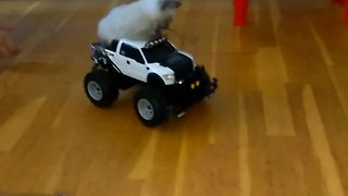 Kitten goes for joyride in RC car