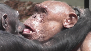 Hairless Chimpanzee Shares Emotional Moment With His Soulmate - Video