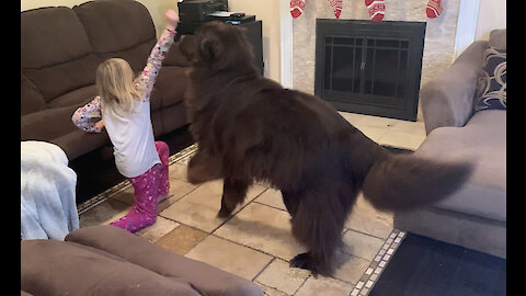 Little girl and Newfoundland play hide and seek