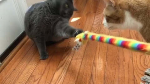 Fluffy cat refuses to let go of toy