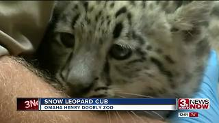 Snow leopard cub introduced at Henry Doorly Zoo - Video