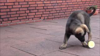 Puppy totally baffled by lemon, can't handle it - Video
