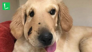 Puppy Takes Rattlesnake Bite to Face While Protecting Owner During Walk