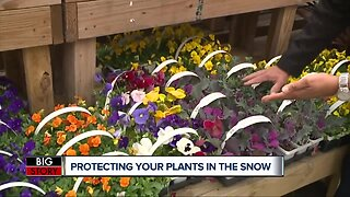 Best ways to protect your plants in the snow