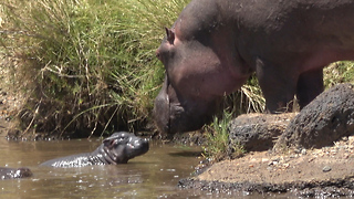 Newborn Hippo Rescued From Hungry Crocodiles  - Video