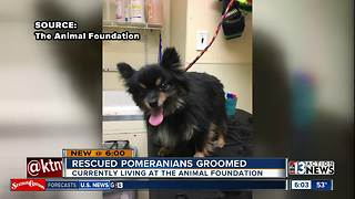 Rescued pomeranian dogs get groomed