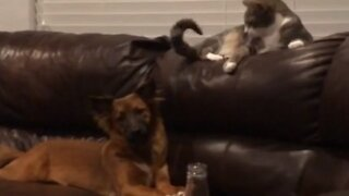 Cat knows exactly how to annoy this totally patient dog