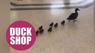 Cute family of ducks found window shopping in centre