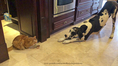 Great Dane And Cat Demonstrate Social Distancing While Eating