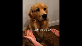 Golden Retriever adorably falls for magic trick