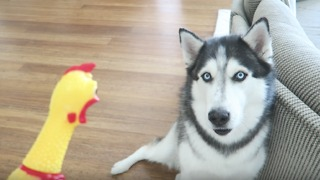 Husky had priceless reaction to rubber chicken toy - Video