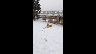 Golden Retriever loves snow, refuses to come back inside