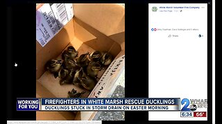 Firefighters in White Marsh rescue ducklings