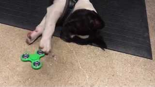 Dog Learns to Use Fidget Spinner - Video