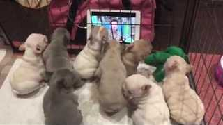 French Bulldog Pups Enjoy Favorite TV Show - Video