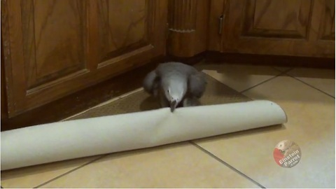 Parrot Tries To Fight With The Kitchen Rug!