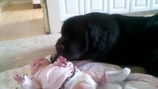 Watch How This Adorable Newfoundland Is Taking Care Of His Precious Little Friend - Video