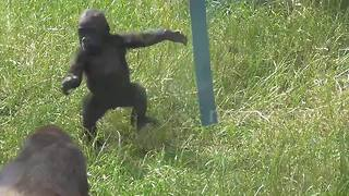Baby gorilla is too cute - Video