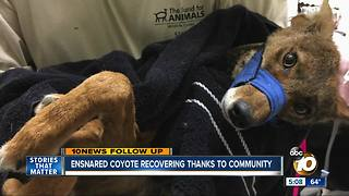 Ensnared coyote recovering thanks to community