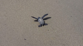 First leatherback sea turtle hatchling to emerge & escape hungry vultures
