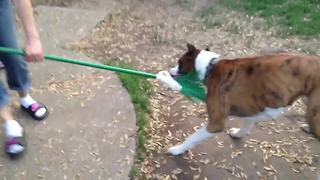 A Hilarious Dog Vs A Broom - Video