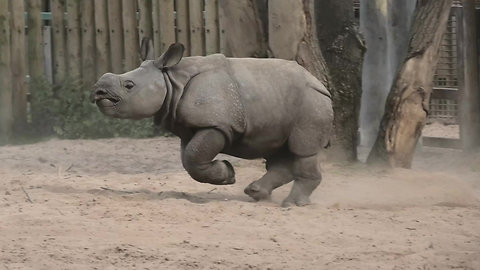 Running baby rhino doesn't want to go inside for bedtime