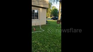 Man rescues newborn deer stuck in football net - Video