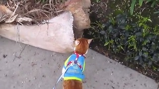 Cat on a leash loves to go for walks