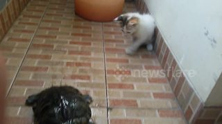Kitten meets turtle for the first time